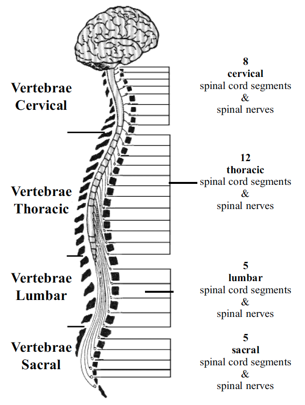 cervical spinal nerves diagram